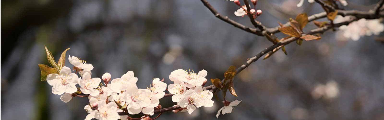 Branch of Cherry Blossom Tree