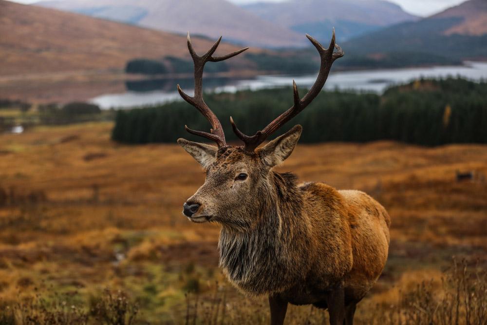Red deer stag in Glencoe Scotland