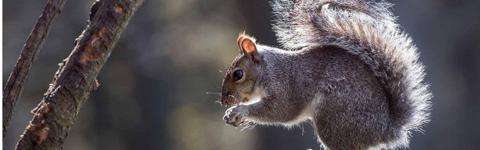 A grey squirrel eating a nut