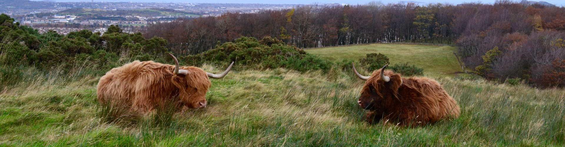 Two Highland cows on the Pentland Hills in Edinburgh