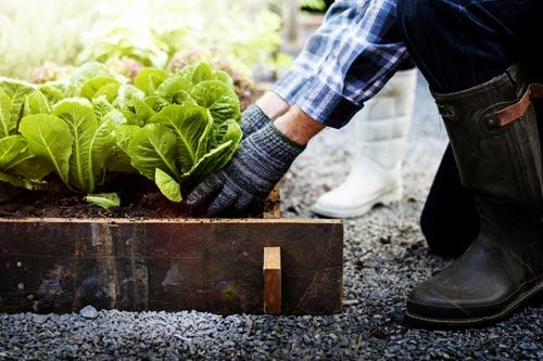 Person gardening vegetables