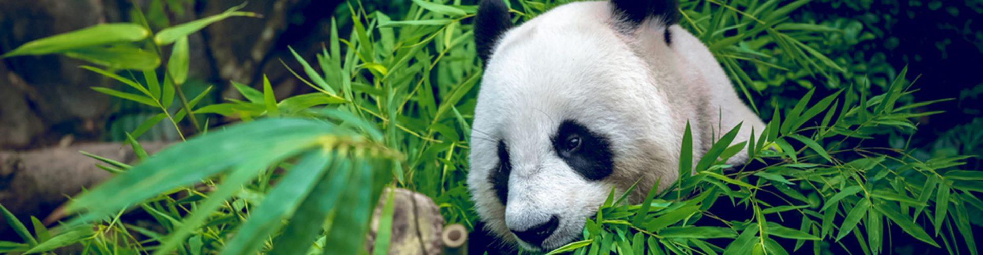 A Giand Panda eating bamboo