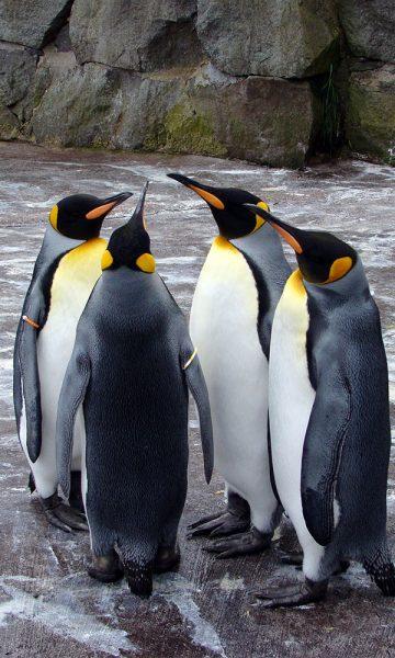 Four penguins standing together