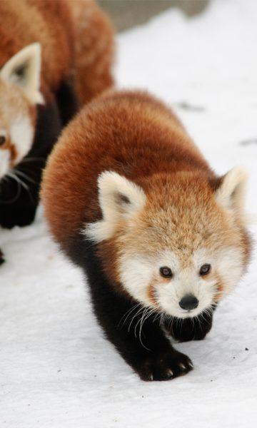 Edinburgh Zoo Red Panda in the snow