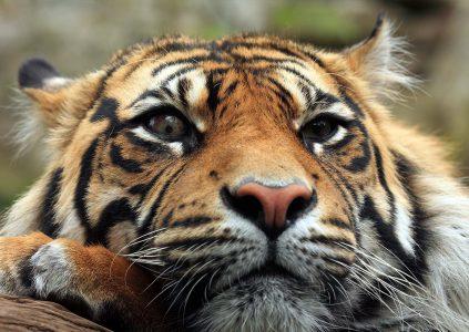Edinburgh Zoo Tiger face close up