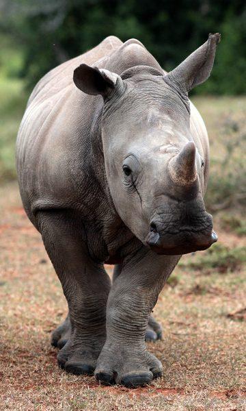 A rhinocerous
