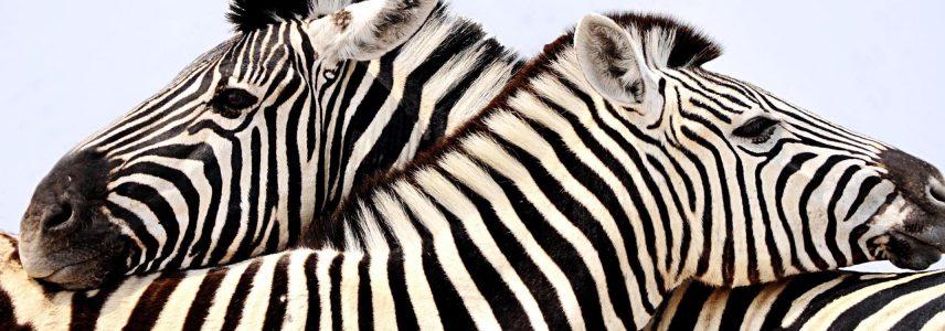 Two zebra cuddling