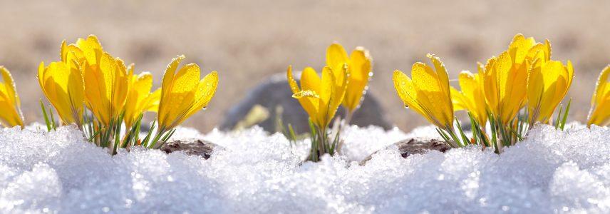 Yellow crocuses popping up through snow