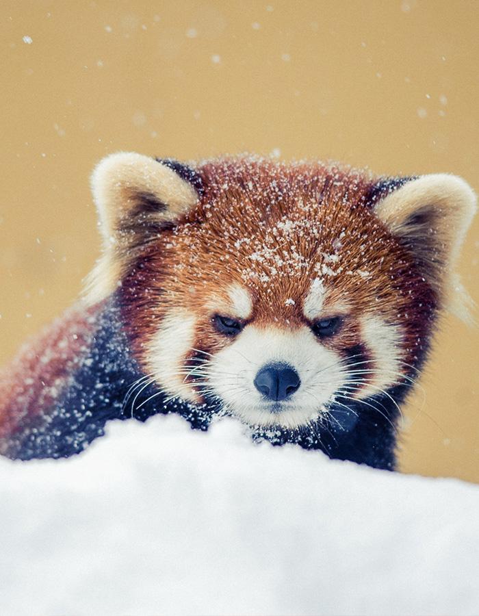 A cute red panda in the snow