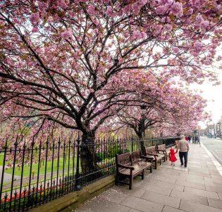 Cherry blossom trees in bloom on Princes Street Edinburgh