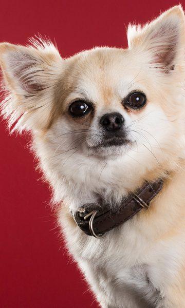 A fluffy Chihuahua