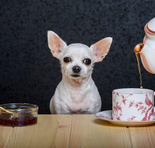 A Chihuahua having a tea party