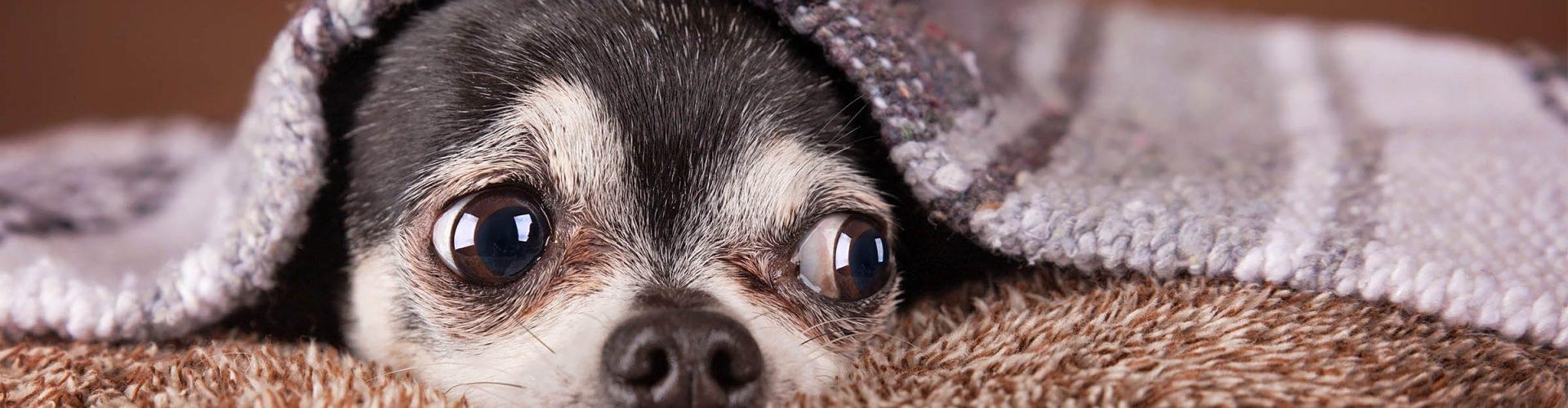 A cute Chihuahua under a blanket
