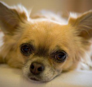 A cute fluffy Chihuahua