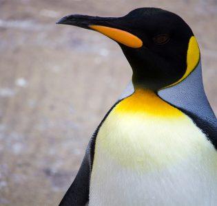 Emperor Penguin at Edinburgh Zoo