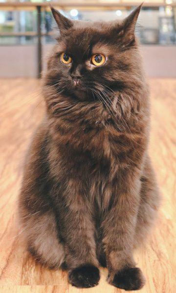 A fluffy grey cat in a coffee shop