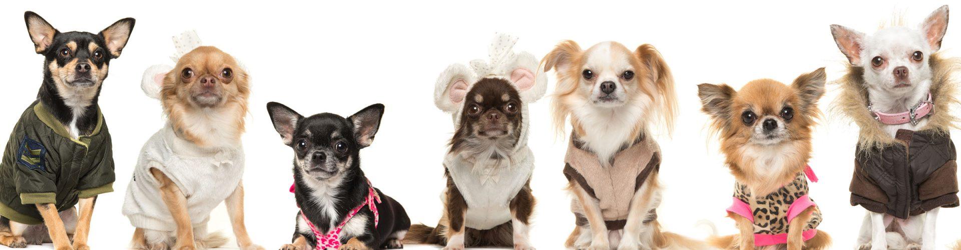 A row of cute Chihuahua's