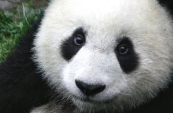Panda looking very cute