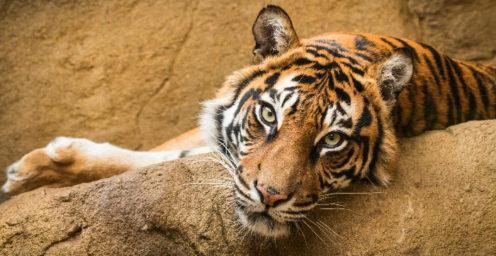 Tiger on rock at Edinburgh Zoo
