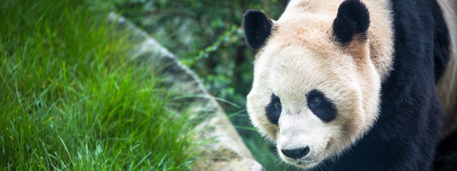 Giant panda walking across grass