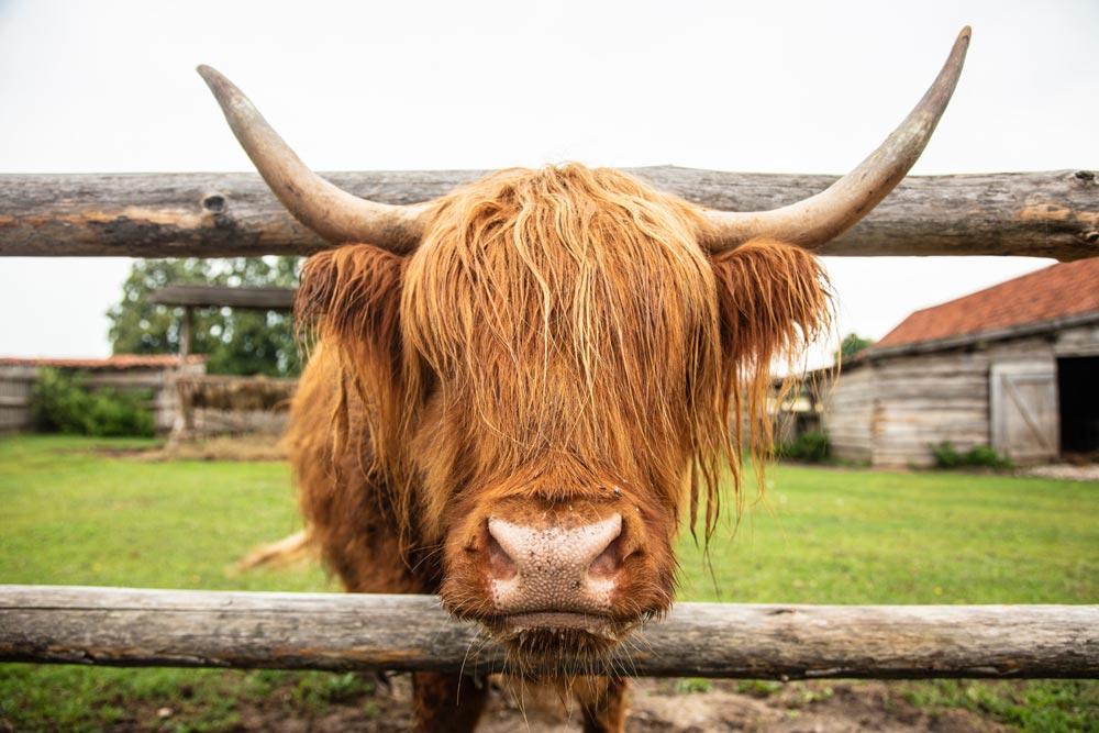 Highland Cow sticking its head through a farm fence