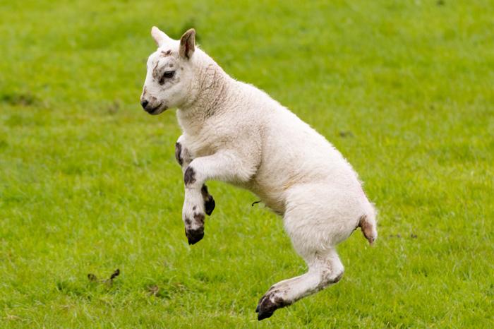 A new spring lamb on a farm